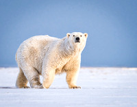 Polar Bear Gallery