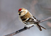 Common Redpoll (female)