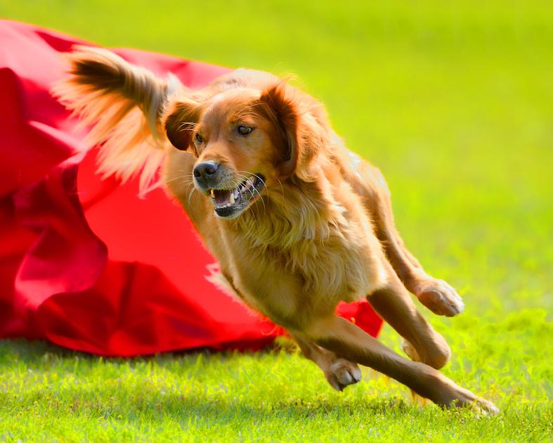 Canine Agility Stylized Shots